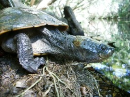 Saw-shelled turtles can be seen in Lacey Creek. Photo: Greg Watson.