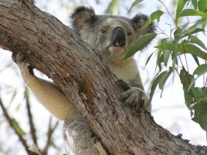 Image of a koala which can be seen around the island.