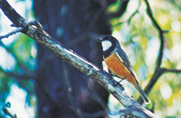 The piercing 'cheeong' calls of rufous whistlers resonate through the forest. Photo: Peter Haselgrove © Queensland Government