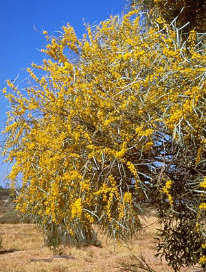 Acacia ammophila in flower. These vulnerable wattles grow on sand ridges east of Lake Bindegolly.