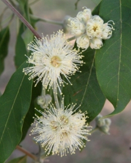 Turpentine Syncarpia glomulifera flowers. Photo: Ross Naumann, QPWS volunteer.