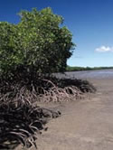 Image of Moreton Bay Marine Park mangroves.