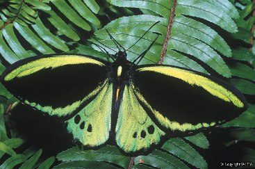 Cairns birdwing. Photo: WTMA.