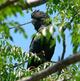 The call of the black cockatoo (garrangarri in the Ewamian language) is a drawn out 'kree' like a rusty windmill. Photo: Andrew McDougall © Queensland Government