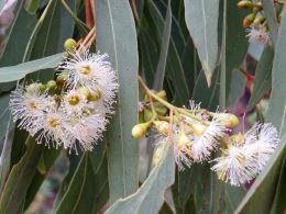 Narrow-leaved red ironbark Eucalyptus crebra. Photo courtesy of Janis Cossill.