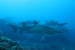 Grey nurse sharks (Carcharias taurus) congregate at Wolf Rock.