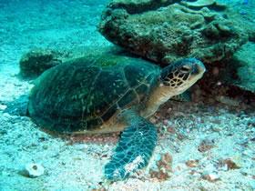 Healthy green turtle