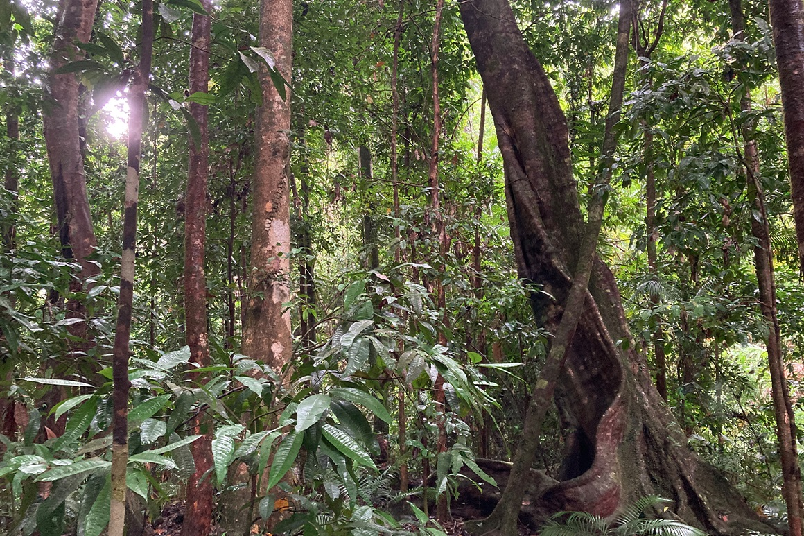 A large buttressed tree stands amid many other tall trees in the rainforest.