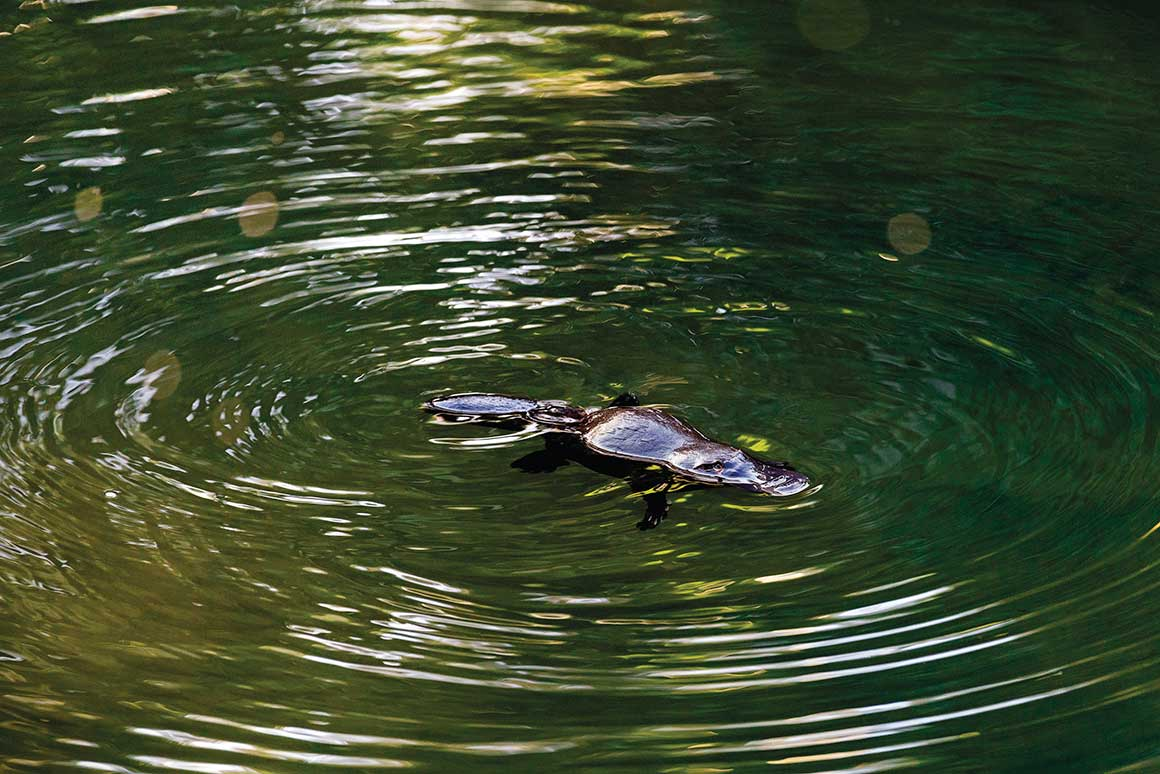 A platypus with sleek wet fur glistening in the sunlight swims across the river and ripples spread out from its body in wide circles