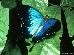 See a multitude of butterflies, including the Ulysses butterfly, at Tully Gorge camping and day-use areas.