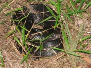 A red-bellied black snake warms itself in the sun at Black Snake Rocks. Photo: Queensland Government.