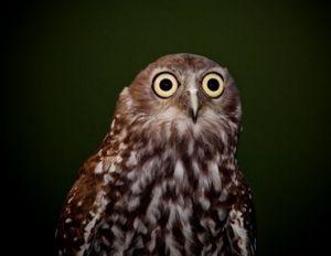 Barking owl.