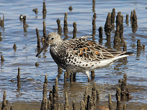 Birdwatchers may be rewarded by seeing the endangered great knot at Halifax Bay Wetlands National Park. Photo © Ken Jones