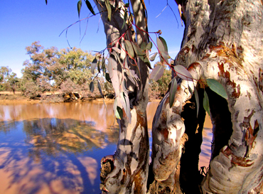 River red gums along the Paroo River. Photo: Robert Ashdown © Queensland Government