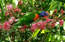 Many species of birds including rainbow lorikeets live in the park.