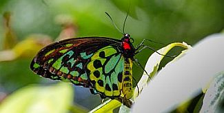 Invertebrates, such as the Richmond birdwing butterfly and glow-worms, have origins in Gondwana. Some invertebrate species have changed little over 400 million years. Photo: Robert Ashdown, Queensland Government.