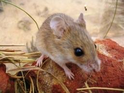 Eastern pebble-mound mouse