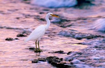 Eastern reef egret, Green Island. Photo: Queensland Government.