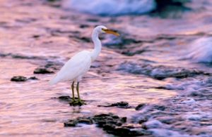 Eastern reef egret, Green Island. Photo: Queensland Government.