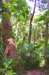 Piccabeen palms and an abundance of vines, ferns and elkhorns thrive in the dappled light beneath the forest canopy.