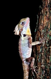 Boyd's forest dragon. Photo: Queensland Government.