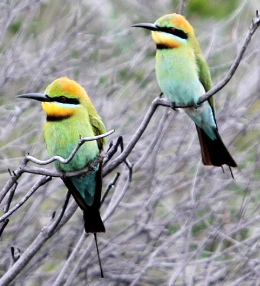 Rainbow bee-eaters are often seen in Mooloolah River section.