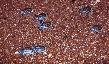 Turtle hatchlings racing to the sea. Photo: Queensland Government.