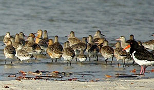 Bar-tailed Godwit, Great Knot, Curlew Sandpiper and Pied Oystercatcher. © Dorothy Pashniak.