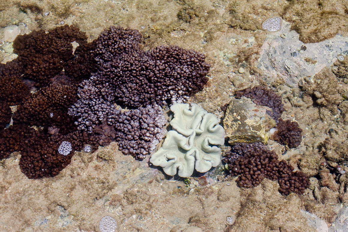 Close up of soft and hard corals and coralline algae in shallow waters near the shore.