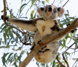 Koalas are often seen in trees near the day-use area and along the walking tracks. Photo: Ross Naumann, QPWS Volunteer.