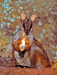 Herbert's rock-wallabies live on and around the rock faces of Cania Gorge. They are shy animals, quickly bounding across steep walls to hide. Photo: Robert Ashdown, Queensland Government.