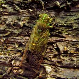 Cicada. Photo: Peter Nieves, Queensland Government