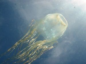 Dangerous stinging jellyfish occur in the waters around Hinchinbrook Island. Photo: Jamie Seymour.