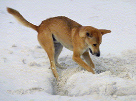 Dingoes dig in the sand for food. Make sure you bury fish remains when dingoes are not around, and at least 50cm deep. Photo: Queensland Government