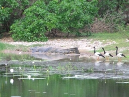 Estuarine crocodile and magpie geese at Twelve Mile Lagoon. Photo: Queensland Government.