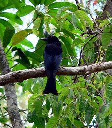 Watch the aerial maneuvers of  the spangled drongo.