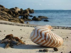 Nautilus shell on the beach.