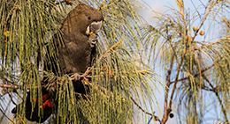 Look for vulnerable glossy black-cockatoos in the casuarina trees.