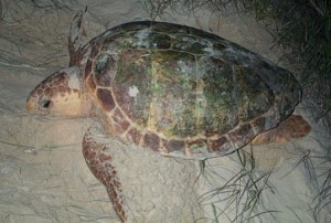 A nesting loggerhead turtle (Caretta caretta). Photo: Queensland Government.