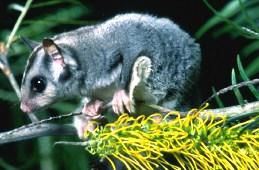 Sugar glider. Photo: Queensland Government.