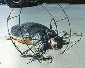 Turtle caught in crab pot