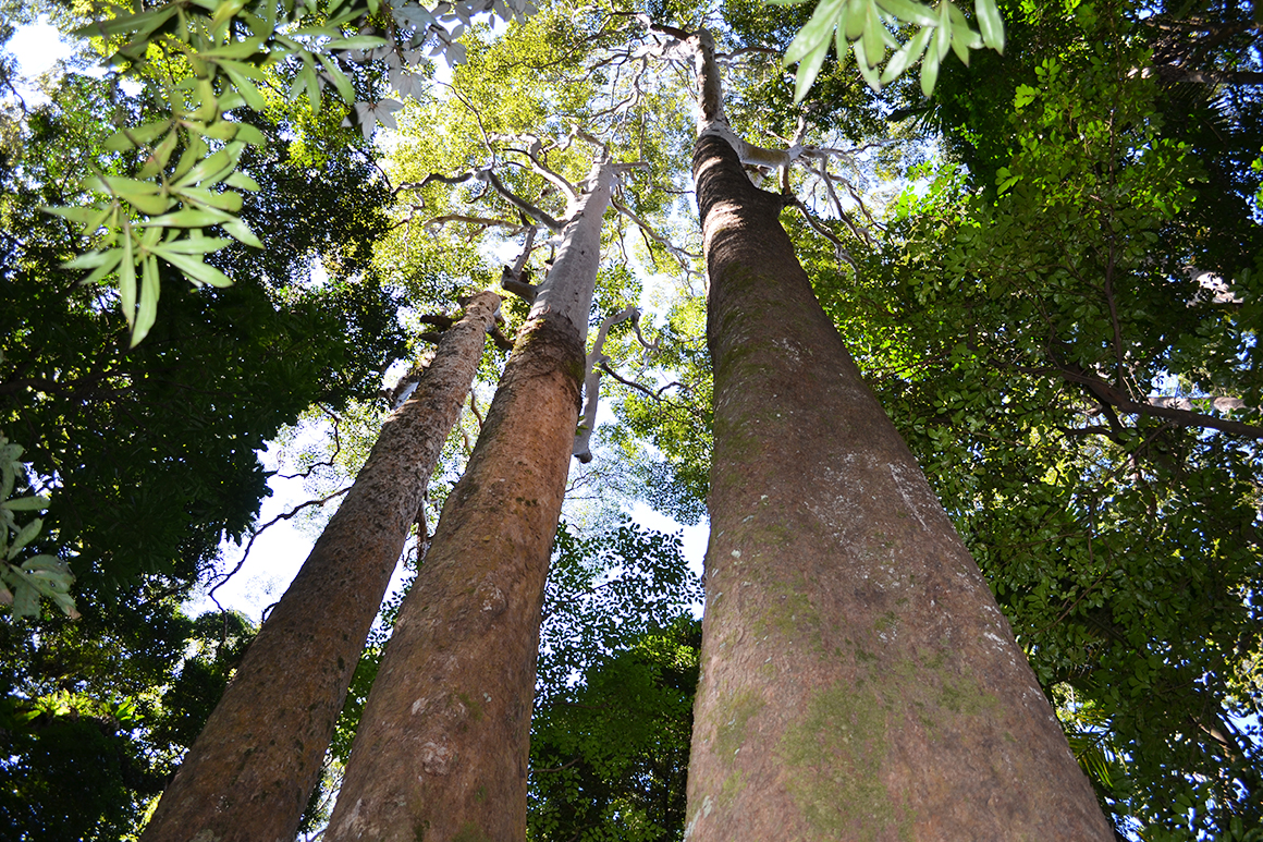 Three tall salmon-coloured brush box trunks loom into the canopy with crowns of green foliage.