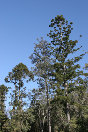 Two Araucaria (L. bunya pine, R. hoop pine) emerge from the dry rainforest.