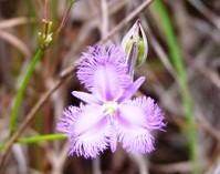 Fringe lily. Photo: Tamara Vallance, Queensland Government
