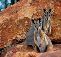 Yellow-footed rock wallaby Petrogale xanthopus celeries. Photo: Bruce Thompson © Queensland Government