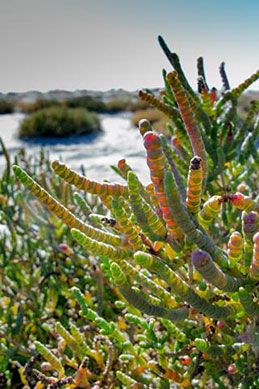Samphire Halosarcia pergranulata survives harsh conditions along the shoreline at Lake Wyara. Photo: Robert Ashdown © Queensland Government