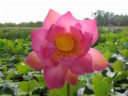 Red lotus lily.