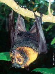 Spectacled flying-foxes are seen flying over Lake Eacham near dawn and dusk. Photo: Mike Trenerry.