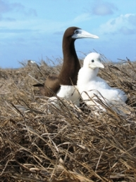 Brown booby and chick. Photo: John Cornelius, Queensland Government