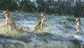 Colour markings are unique to each dingo.